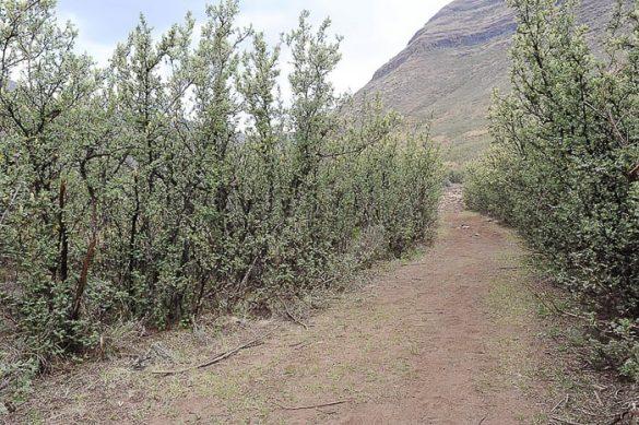 gozd akacij park Tsehlanyane
