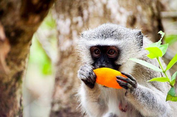 opica s pomarančo