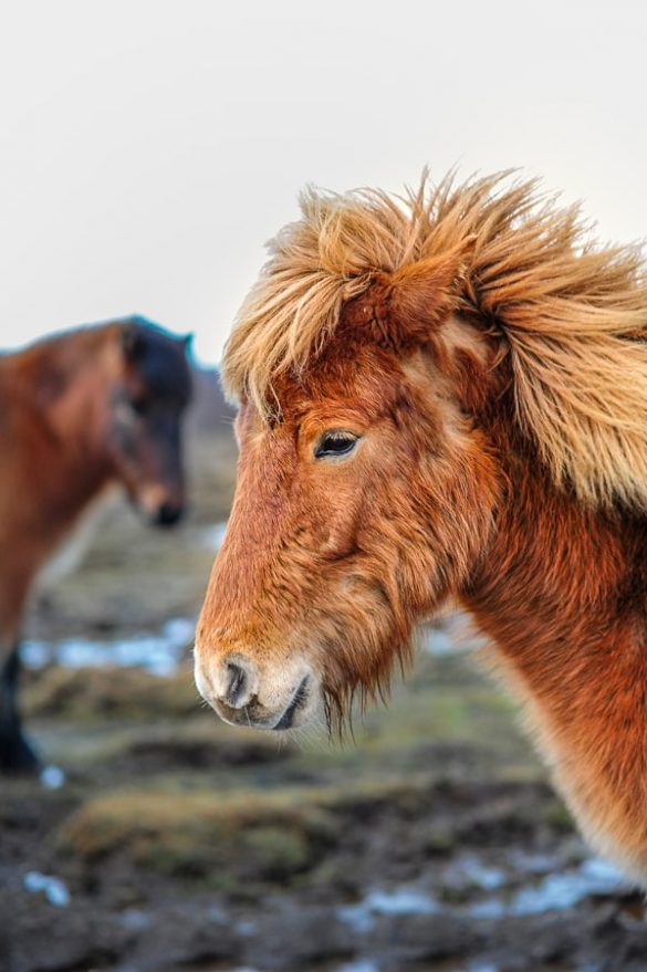 islandski konj