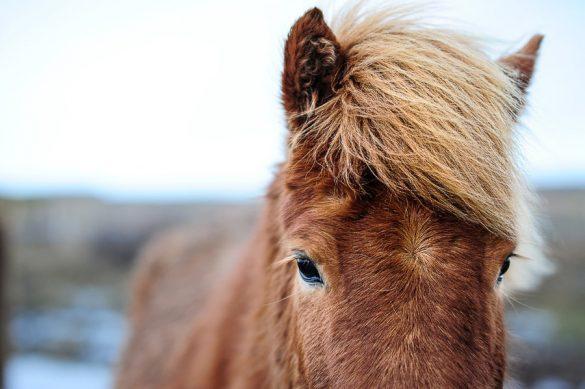 islandski konj - čelo