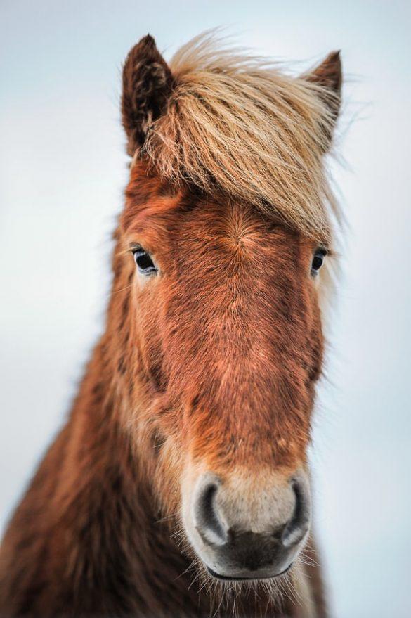 rjavi islandski konj
