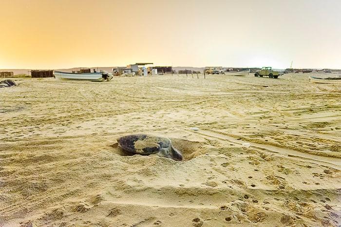 Želva si koplje gnezdo na plaži Ras Al Hadd