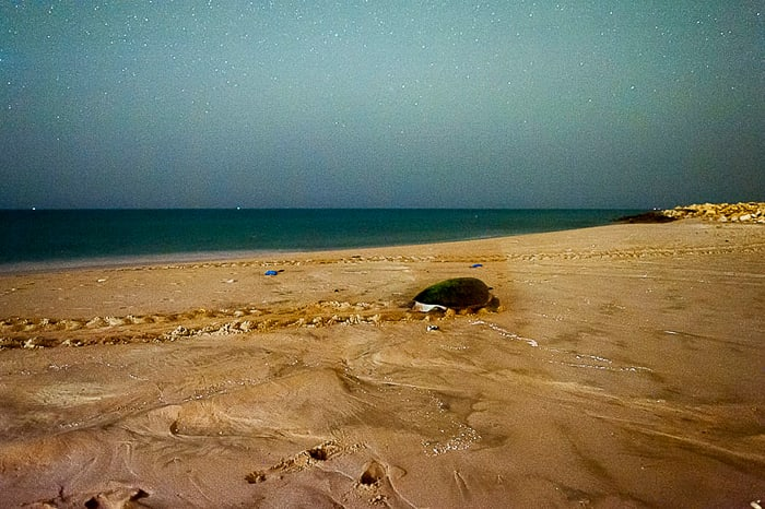 Želva na peščeni plaži Ras Al Hadd