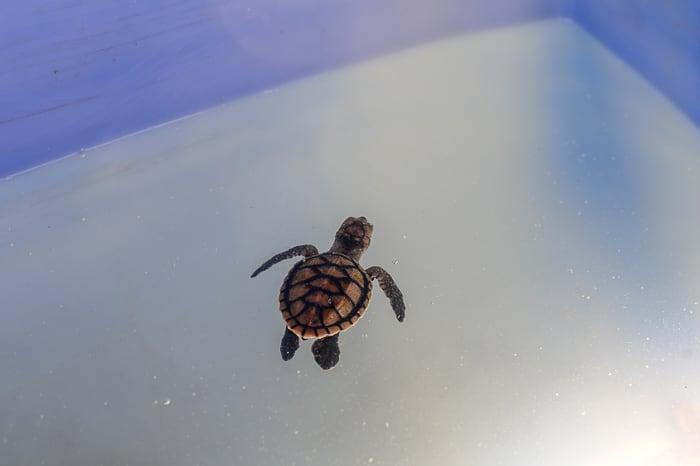 mlada želvica