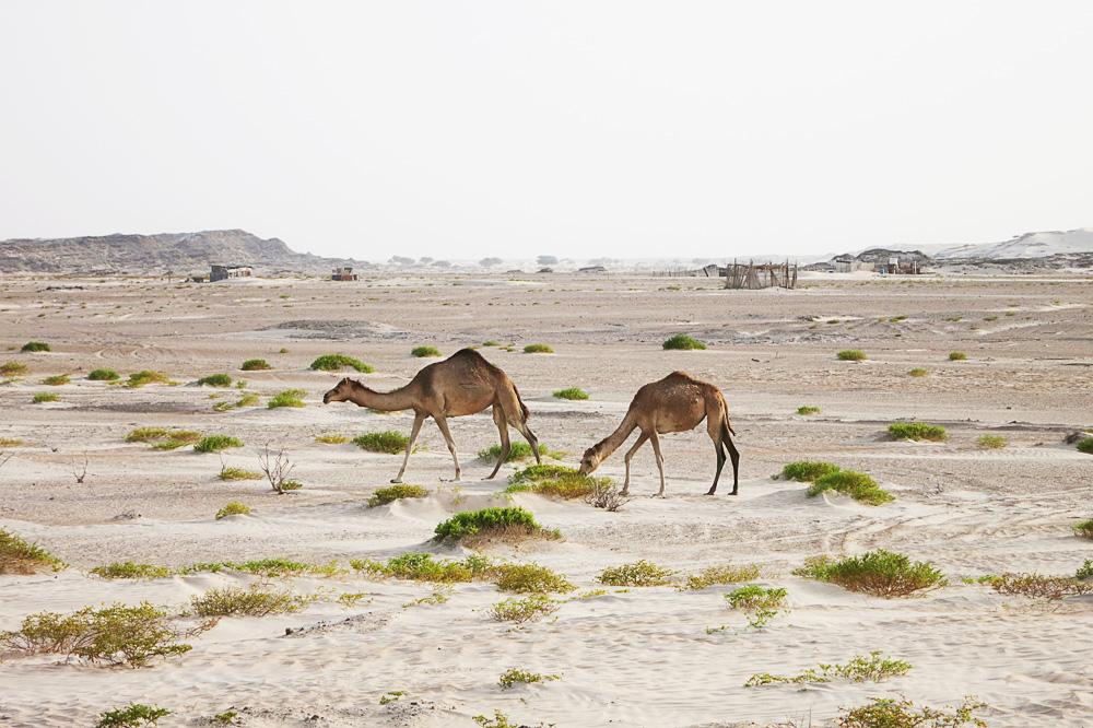 kamele v bela puščava Al Khaluf Dunes