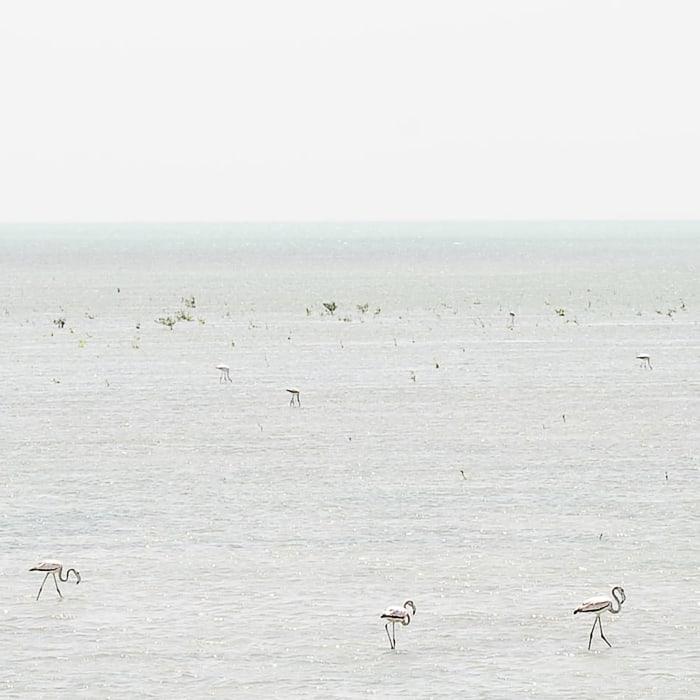 beli flamingi