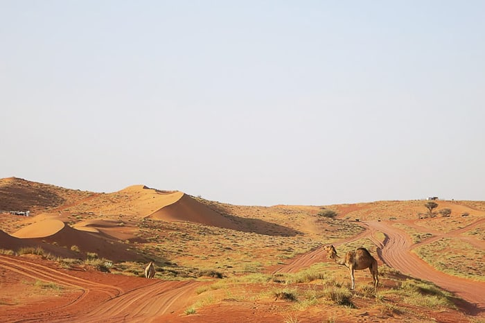 kamela dromedar v puščavi Wahiba