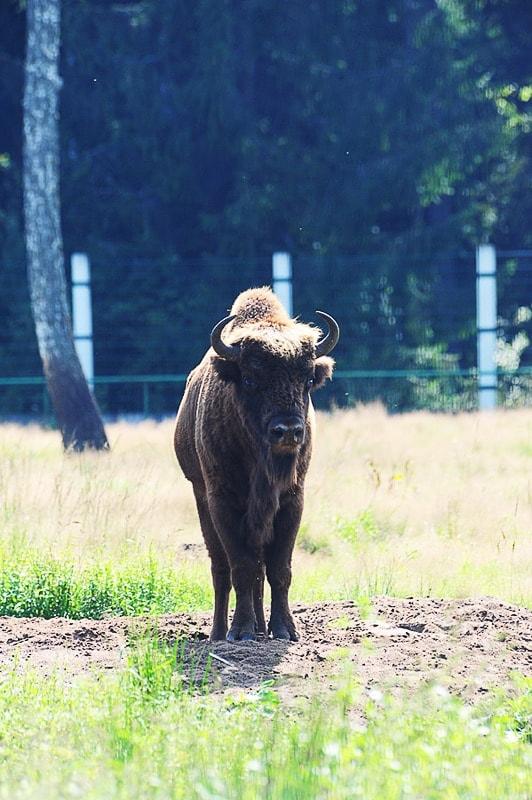 evropski bizon (zober)
