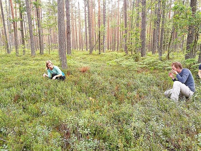 skupina ljudi nabira borovnice v gozdu Naliboki, Belorusija