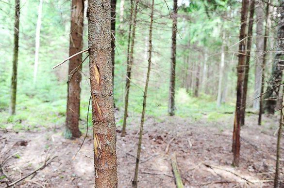 popraskano deblo. sledi jelenjih rogov