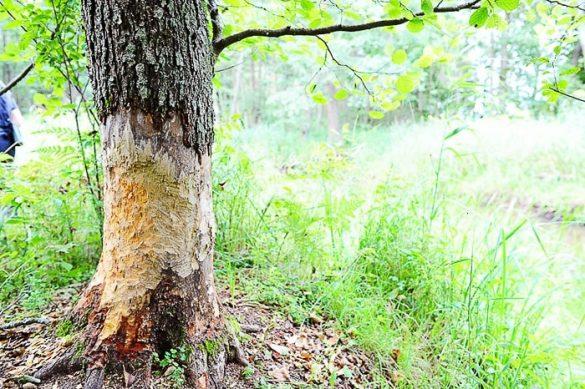 deblo, ki so ga bobri začeli glodati