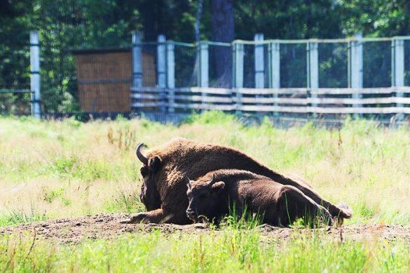 samica evropskega bizona in njen mladič ležita na travi v ogradi.