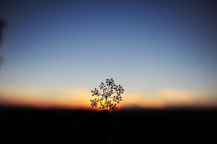 obris cvetlice ob sončnem zahodu