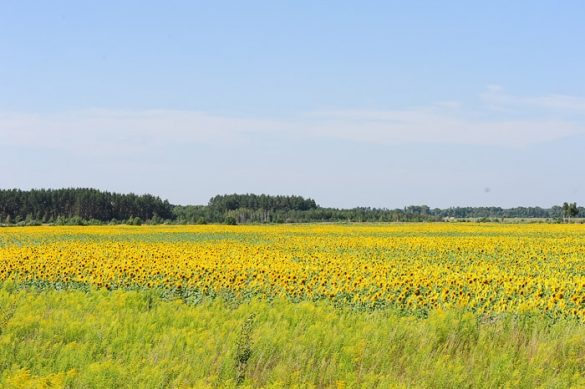 polje sončnic v Ukrajini