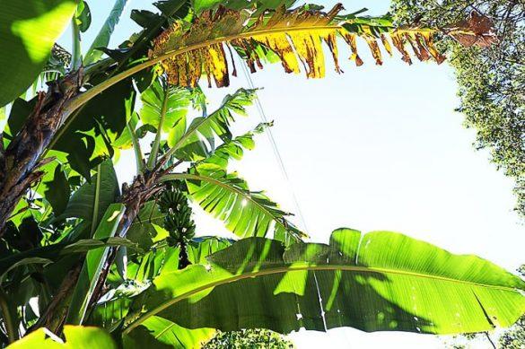 banane na drevesu Salvador