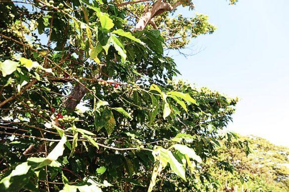 rastlina kava