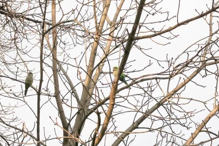 papagaj na drevesu