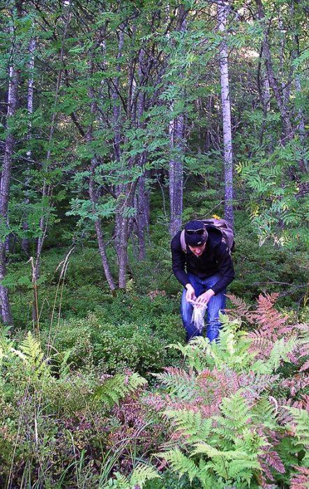 moški nabira borovnice v nacionalnem parku Koli na finskem