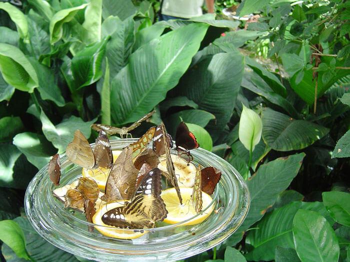 metulji na pomaranči, hiša metuljev Mainau