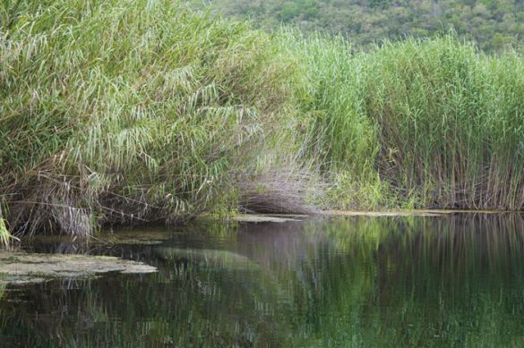 morska krava v reki, Jamajka