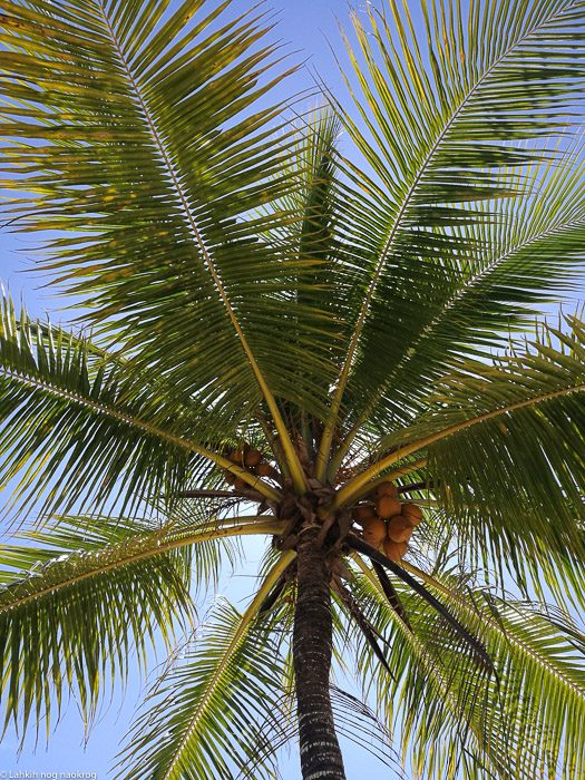 kokosova palma