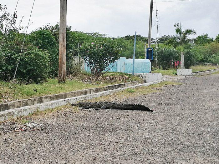 aligator na cesti, jamajka