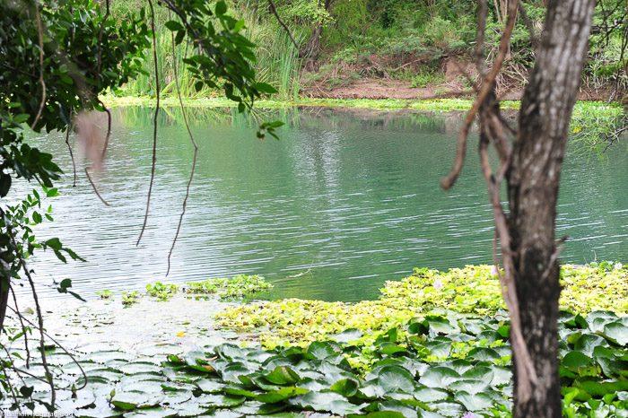 reka z aligatorji in lokvanji, jamajka