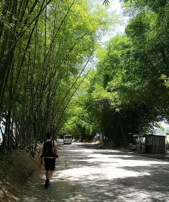 Cesta Bamboo Avenue Jamaica je dreverod bambusovih dreves