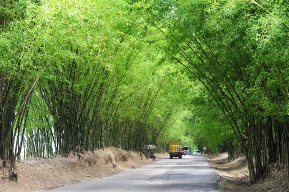 bamboo avenue, jamajka. Cesta, ki pelje skozi bambusov drevored