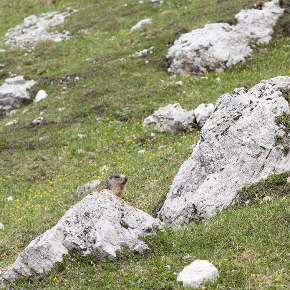 Svizec za skalo na pobočju Dolomitov