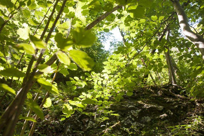 zeleni bukovi listi, obsijani s soncem