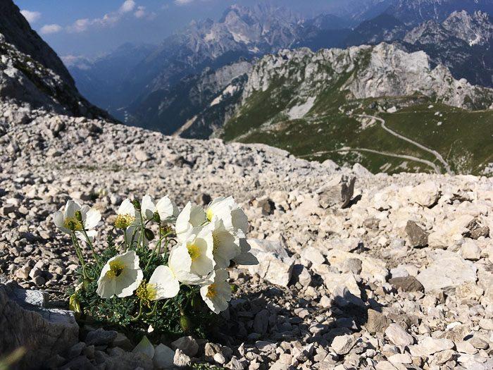 Planinsko cvetje med kamenjem