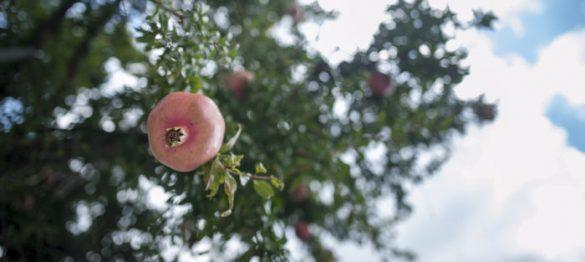 granatno jabolko na Cipru, gorovje Troodos