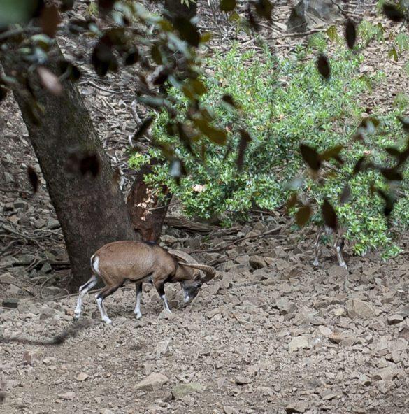 muflon se hrani, gorovje Troodos, Ciper