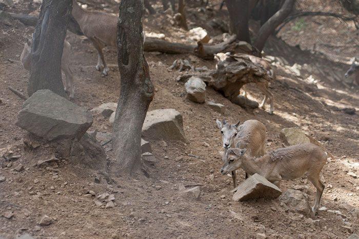 mlada muflona pri hranjenju