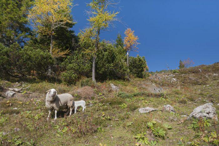 ovce na pašniku pod Raduho