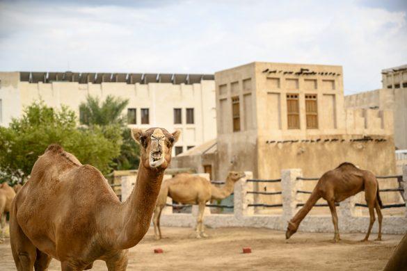 kamele v Dohi