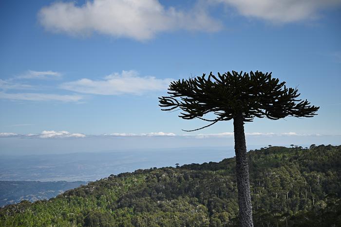 araucaria in razgled na vulkane. Park Nahuelbuta