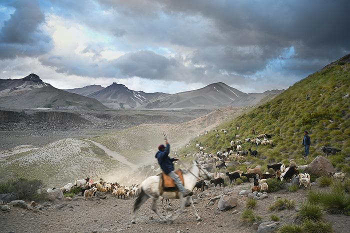 pastir na konju in čreda ovac v Andih