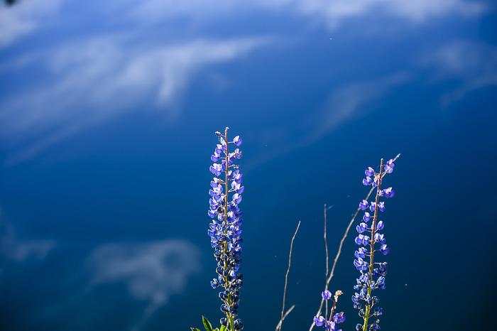 cvetlice pred vodno gladino