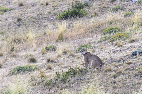 puma v patagoniji