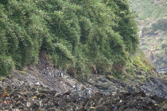 pingvini na otoku Chiloe