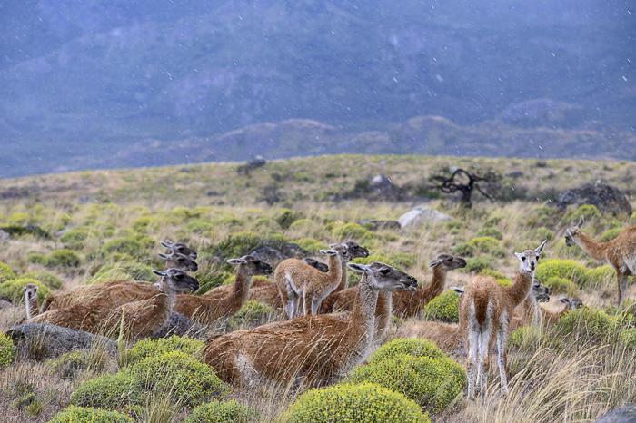 skupina živali gvanako