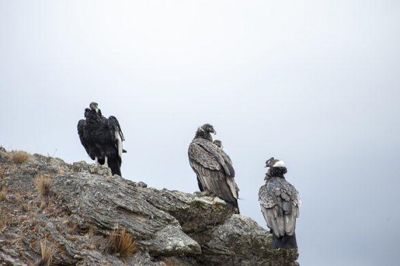 kondorji na skali