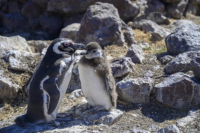 magelanov pingvin in njegov mladič