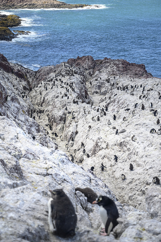 rockhopper pingvini na skalah otoka Isla Pinguino
