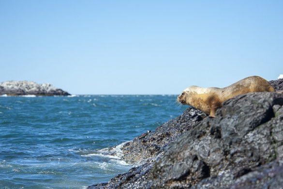 morski lev gre v morje