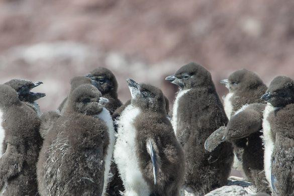 skupina pingvinjih mladičev