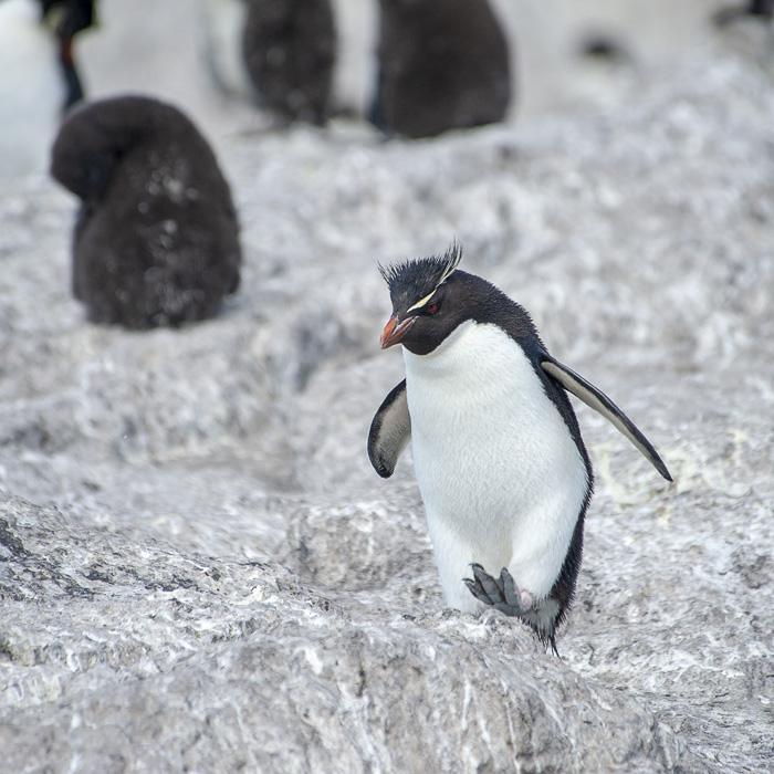 Southern Rockhopper pingvin