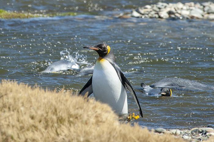 mlad kraljevi pingvin na obali